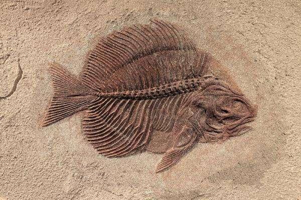 fosszilis feszítőanyag - fossile di un pesce. Létrehozza a puzzle-t és a felületét (16×11)