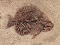fossiles fossil