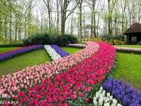 Fleurs  - Everyone would like to have such tulips in their garden !!!