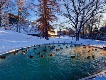 l'hiver à la piscine - basen, śnieg, kaczki, woda,
