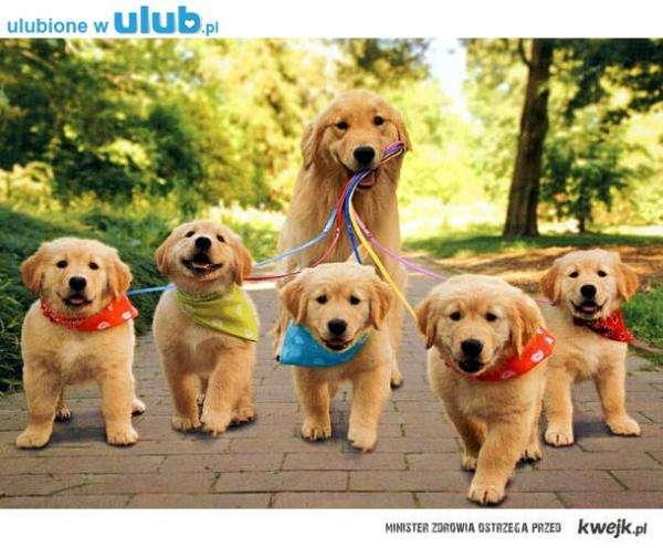 momia con perros pequeños - Caminar con mi madre. Pequeños perros labrador con madre en un paseo. Wspaniała rodzinka piesków (5×5)
