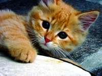 słodziaczek - Chaton est mignon avec de grands yeux petit smiley visage et une belle couverture bleu foncé