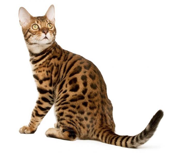 Бенгалска котка - Бенгалска котка Бенгалска котка (5×5)