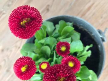 bouquet de fleurs - marguerites de Bourgogne dans un pot