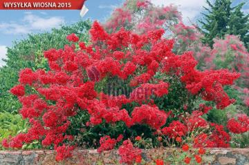 burning bush - bush, red, flowers, decorative