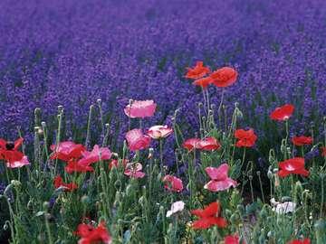 Una radura di fiori - Meravigliosi amuleti della natura, campo pieno di fiori.