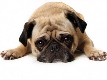 sweet dog - sweet french bulldog