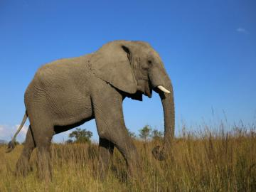African elephant - Mammal of the elephantidae family, the largest contemporary living terrestrial animal. Earlier recog