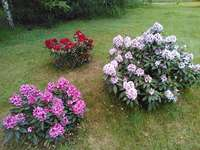 rhododendrons - rhododendrons dans le jardin