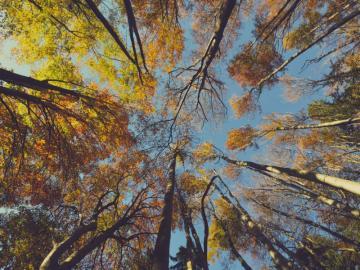 Korony drzew - Fotografia zrobiona w lesie, jesienią. Widąc piękne korony wysokich i okazałych drzew. Liście i