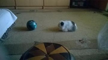 rabbit and ball - the rabbit is playing football