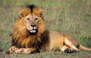 King of the Lion, King of Afri - this is my cool lion, I have visitors today and I am happy with those who put a factory pl puzzle he