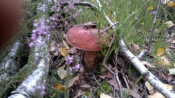 beautiful boletus - autumn mushrooming
