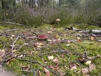 grzbobranie - boletus and cossak in the clearing
