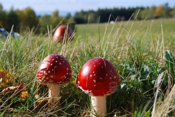 Mushrooms of toadstools - red mushrooms, white dots