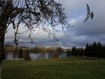 sokół wedrowny - widoczek na pod szczecińskiej wsi