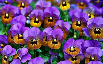 """Colorful pansies with """"eyes"""" - Colorful pansies with """"eyes"""""""