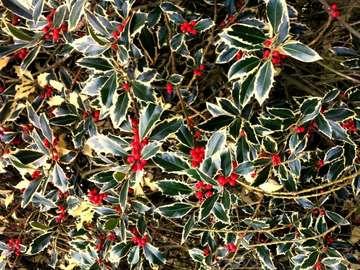 Holly for Christmas wreaths - Holly for Christmas wreaths