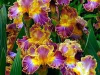 La beauté des iris colorés