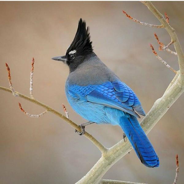 lieve dieren - een vogel met een haan op zijn kop (10×10)