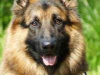 Pies szach - Pies Owczarek Niemiecki
