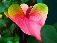 Fiore di Anthurium - Fiore colorato di anthurium