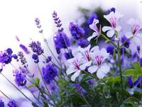 Flori albe de geraniu