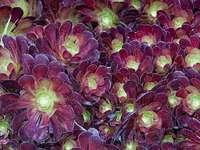 Flori pufoase de liliac