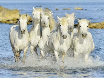 Speeding horses - Rushing horses by the sea