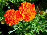 Цветя - Tagetes
