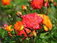 Розови храсти