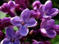 Люлякови цветя