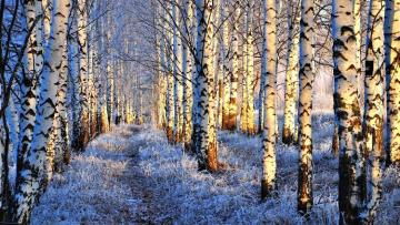 winter in the forest - Snow-covered road leading through a birch forest