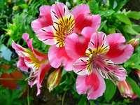 Розово Алстромерия цвете