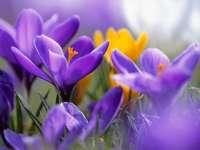 Fleurs de crocus colorées