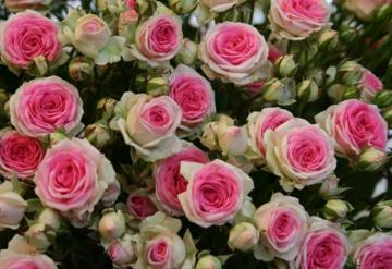 "Rose ""Pierre de Ronsard"" - The Rose ""Pierre de Ronsard"" is considered the most beautiful rose in the world"