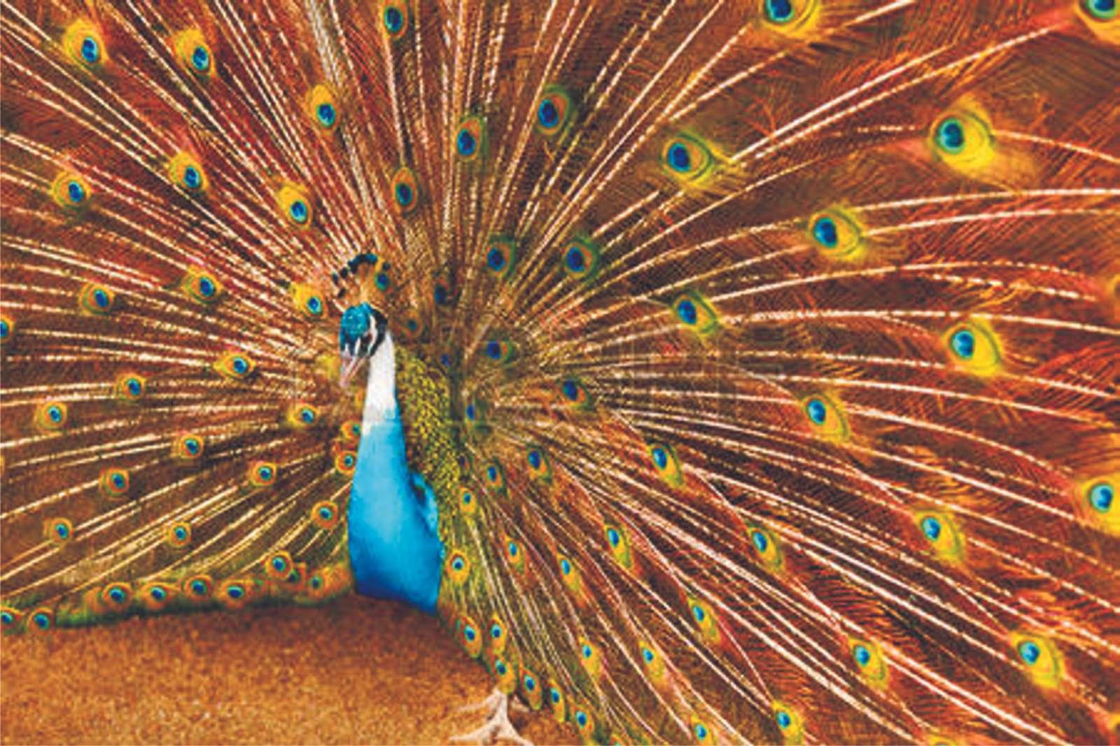 Ουρά Peacock 02