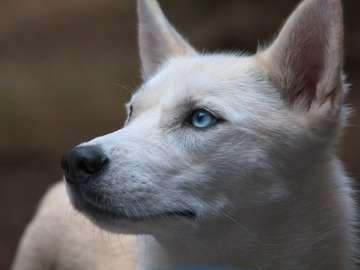 Penetrierender Hund - Ein schöner Hund mit einer Cremeweißsalbe und blauen Augen, die in den Abstand anstarren