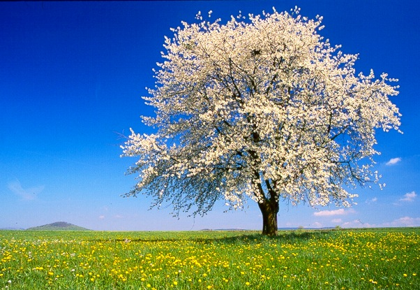 Árvore primavera - Árvore na primavera. Quebra-cabeça engraçado para aprender como uma árvore é formada na primavera. A árvore enche primavera com primavera! Veja como (14×10)