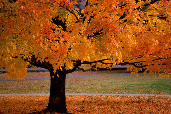 Tree in the autumn - a very easy puzzle to compose the autumn tree (3×3)