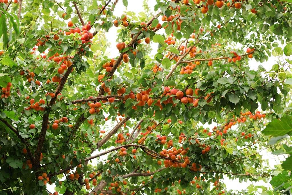 Drzewo w lecie - Drzewo w lecie. Dowiedz się, jak drzewo morelowe powstaje latem! Oto, jak wygląda drzewo morelowe w lecie (2×3)