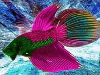 Colorful fish - colorful fish puzzle
