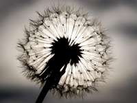 Dandelion - a plant originating from dandelions