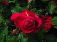Приказни червени рози