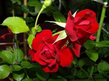 Roses, roses, roses  - Roses, roses, roses