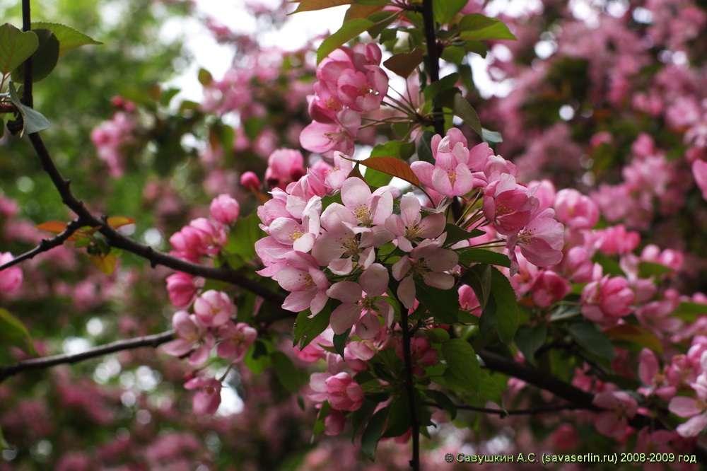Цъфнали ябълкови дървета - Kwitnące jabłonie (9×9)