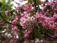 Цъфнали ябълкови дървета