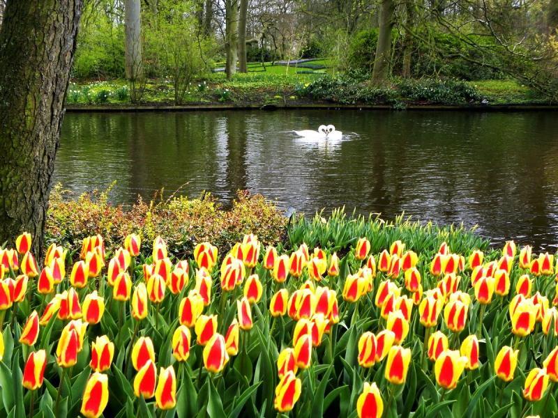 Na tle tulipanów - Dans le contexte des tulipes (9×9)