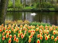 Na tle tulipanów