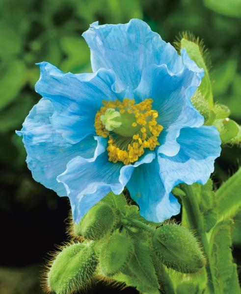 Красотата на цветята - син мак (9×9)